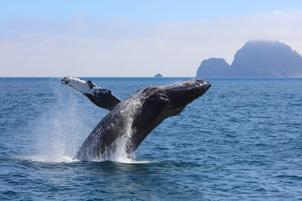 See Humpback Whales on Norwegian's Cruise to Alaska