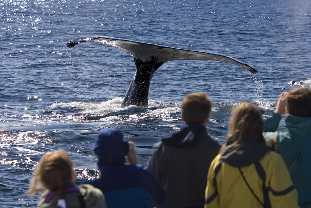 Cruising to Alaska: Adventures in Whale Watching