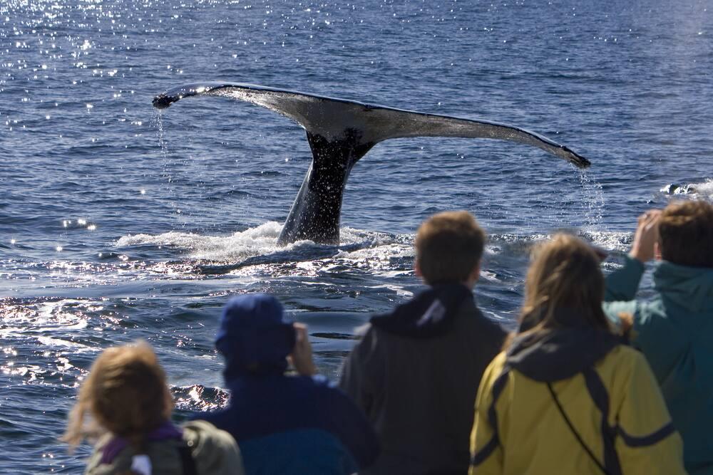 Cruising to Alaska: Adventures in Whale Watching