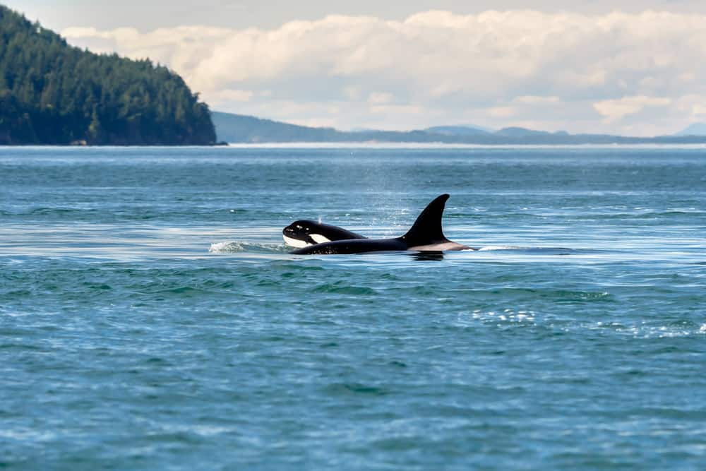 See Orca Whales on Norwegian's Cruise to Alaska
