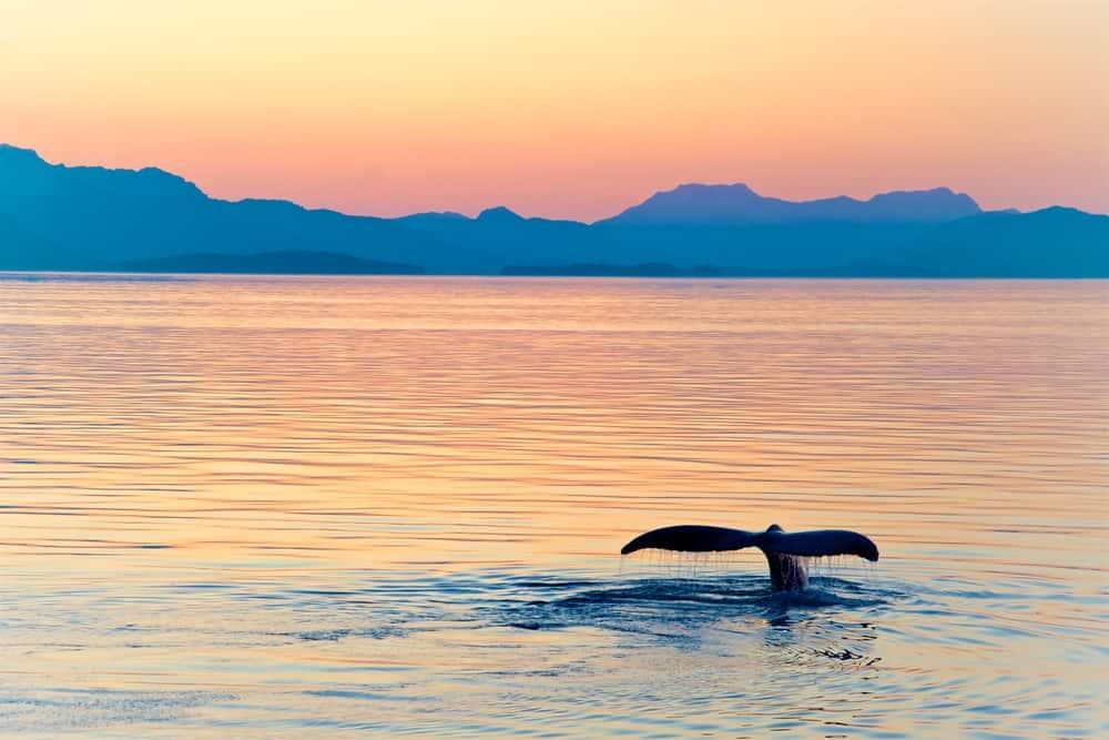 Norwegian Cruise Line Alaska Cruisetours - Whale