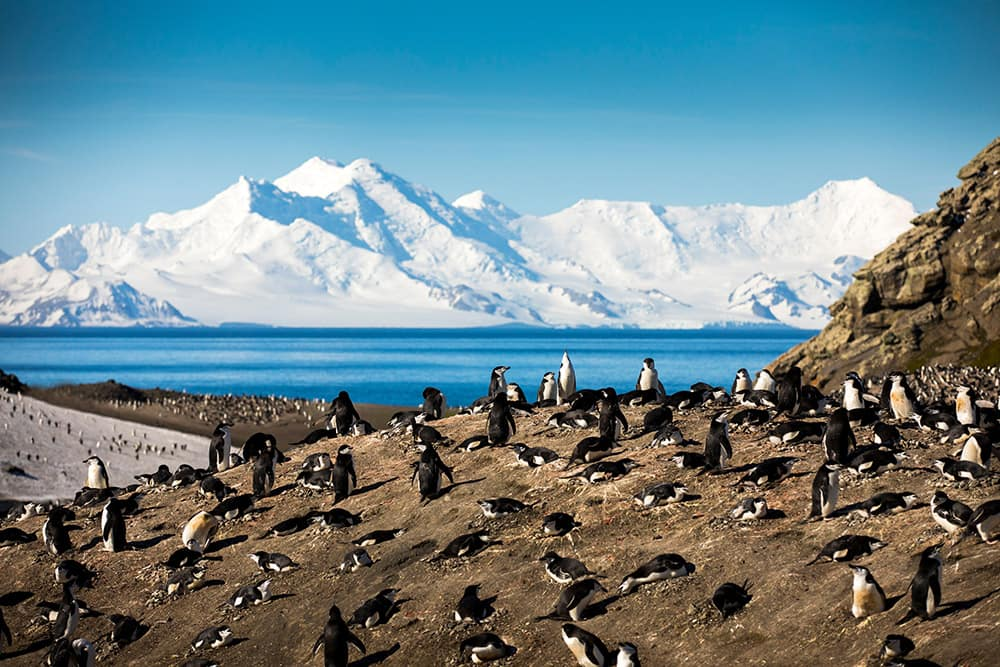 Deception Island - Chinstrap Penguins