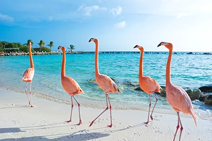 Flamingos frolic on the beach in Aruba