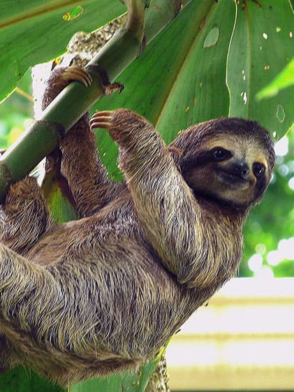 Hang with local sloths in your Panama Canal Cruise