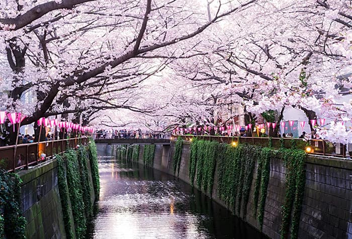 Cherry Blossoms in Naha