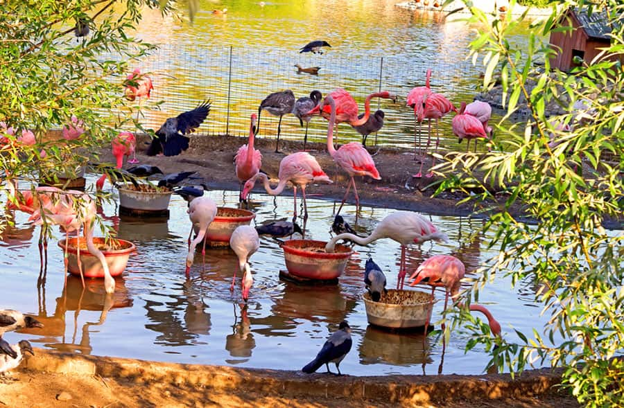 See Pink Flamingos in Nassau's Ardastra Gardens