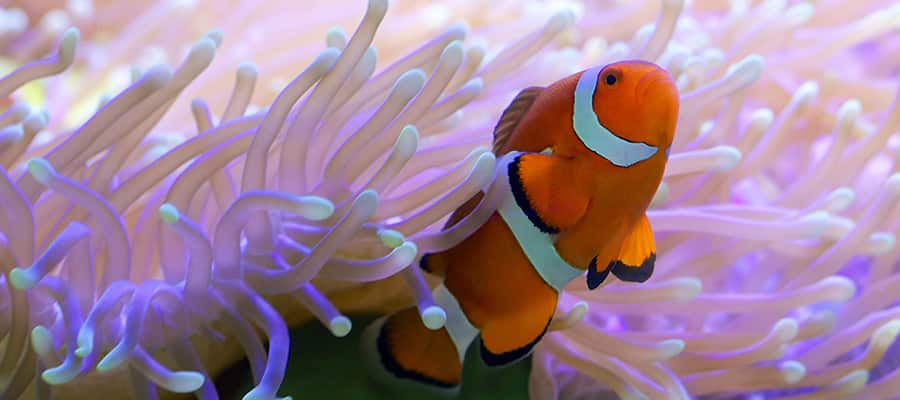 Clown fish hiding in colourful anemone on a Airlie Beach Cruise