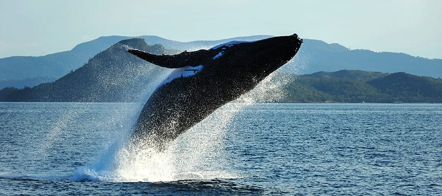 Humpback Whale breaching on Airlie Beach Cruise
