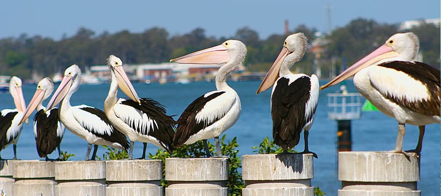 Pelicans in Brett's Wharf on Airlie Beach Cruises