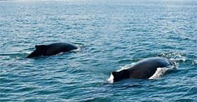 Whale Watching from Husavik