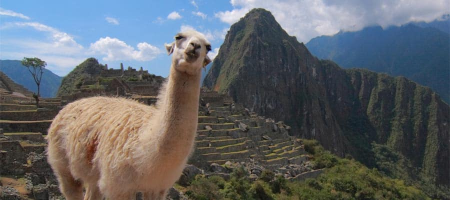 Alpaca in Machu Picchu on an Arica cruise