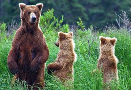 Alaska-Bärenbeobachtungen