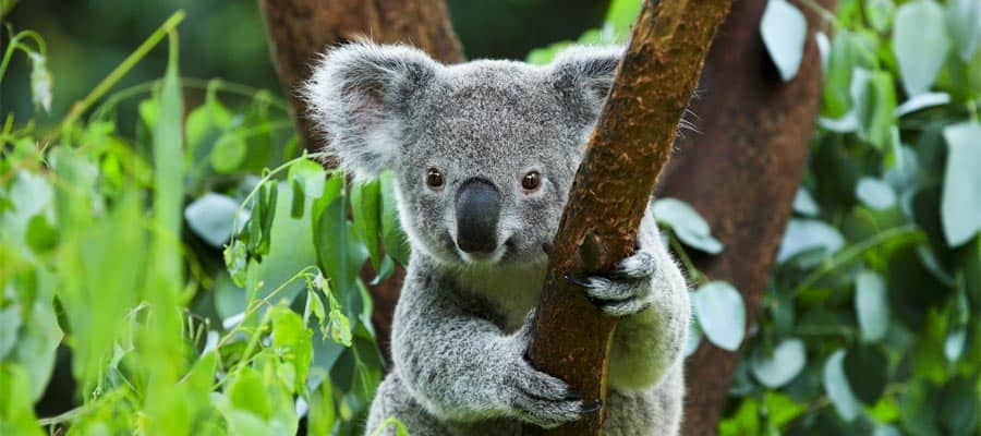 Koala on an Australia cruise