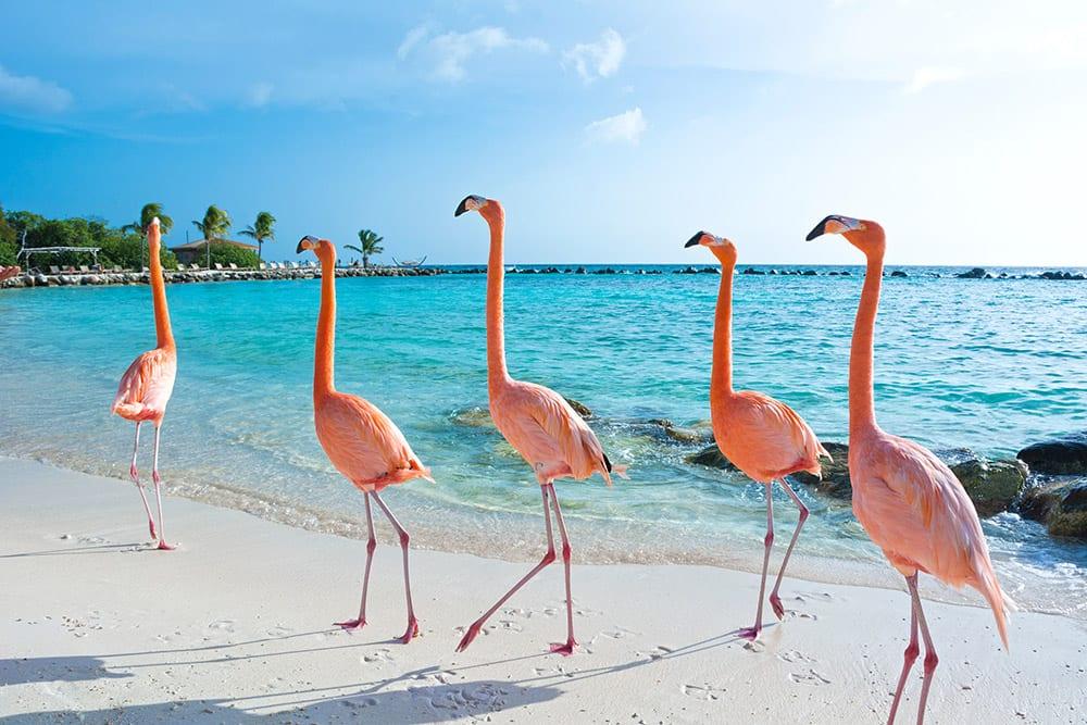 Cariibean Cruises from Galveston, Texas - Pink Flamingos in Aruba