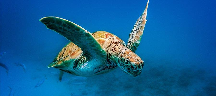 Practica buceo de superficie durante un crucero por el Caribe