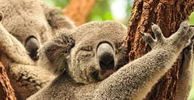Highlights of Brisbane & Koala Sanctuary
