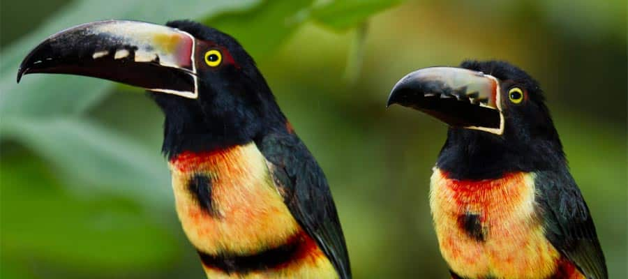 Toucans in Belize on your Caribbean cruise