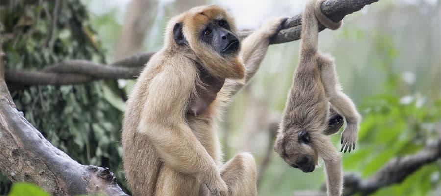 Mira los monos en Belice en tu crucero por el Caribe