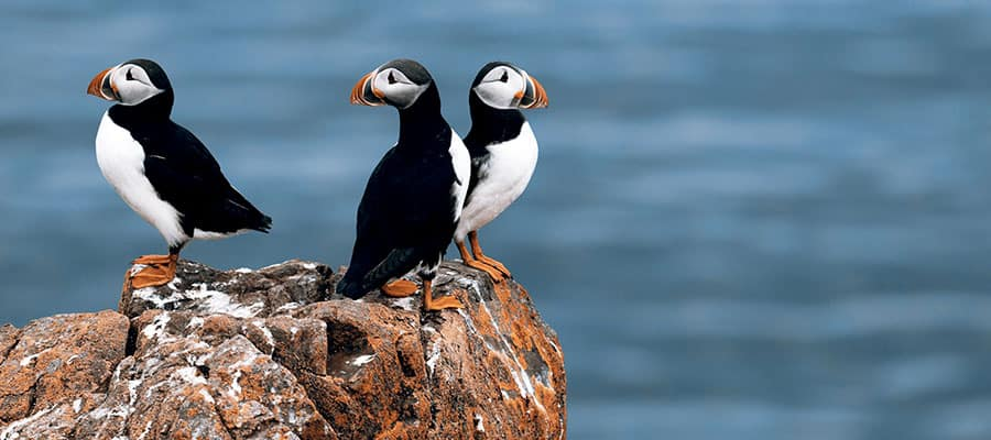 Puffins in Nova Scotia on Canada & New England Cruise