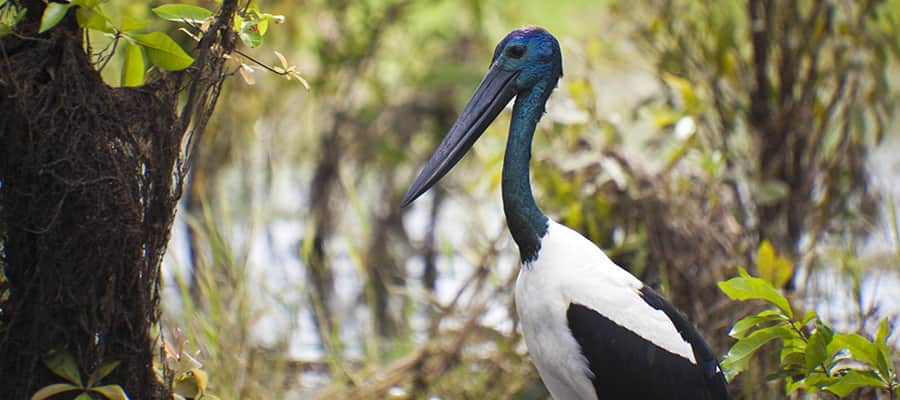 Australian jabiru bird on Darwin Cruise