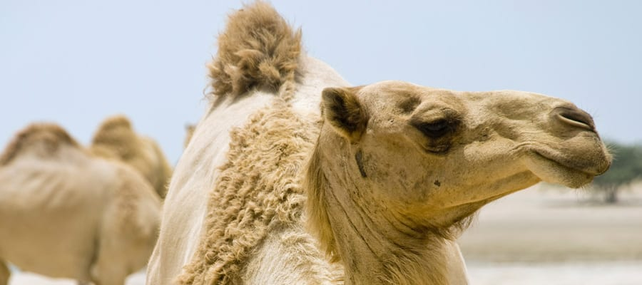 Ride Camels on Cruises to Fujairah