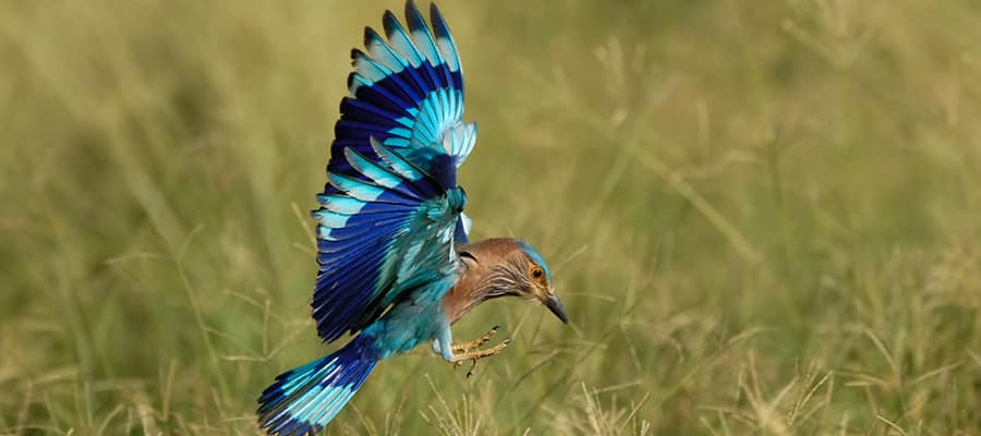 Indian Roller on Fujairah Cruise