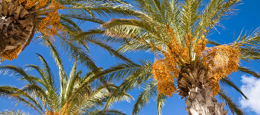 Date palms on Cruises to Fujairah