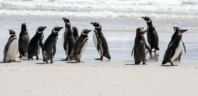 Penguins bask on the beach along the Straits of Magellan