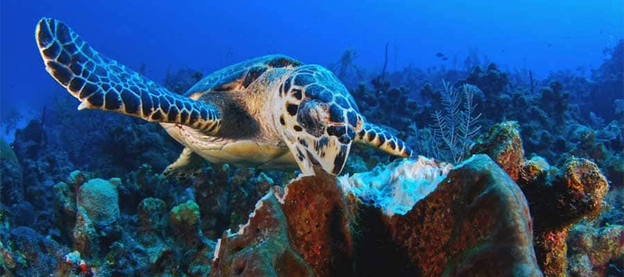 Tortugas marinas en los cruceros por el Caribe