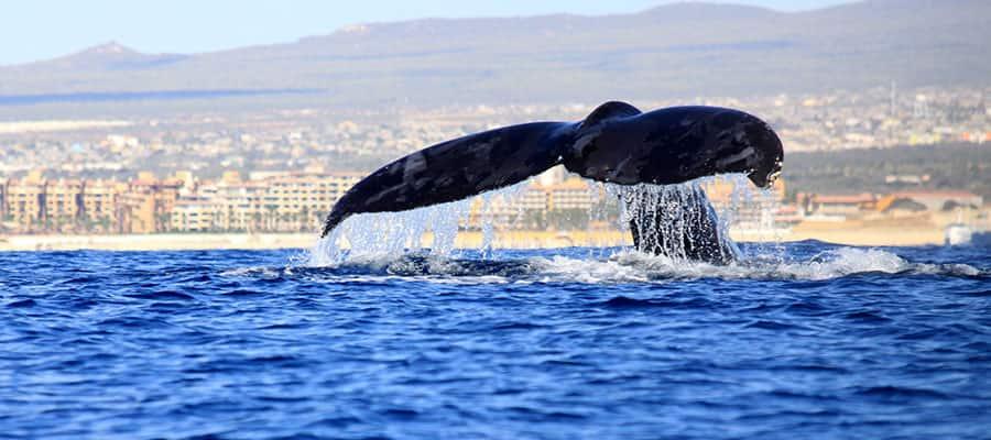 Ammirare le balene con la tua crociera lungo la Riviera Messicana