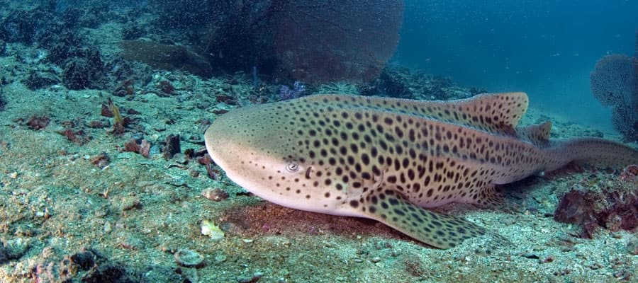Leopard Shark in Phuket