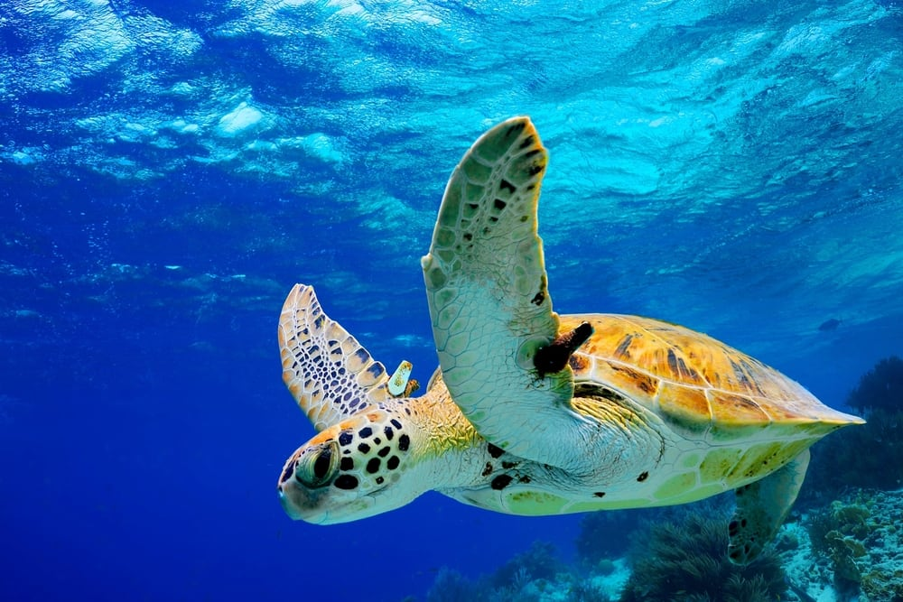See Wildlife in Hawaii such as Green Sea Turtles