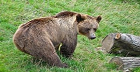 Whales, Wildlife & Brown Bear Search