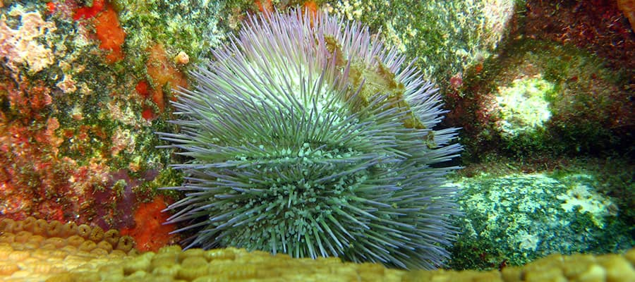 Colourful Sea Urchins on a cruise to Ilhabela