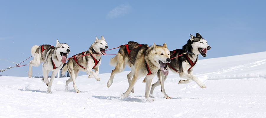 See Alaskan Sled Dogs on a Cruise with Norwegian