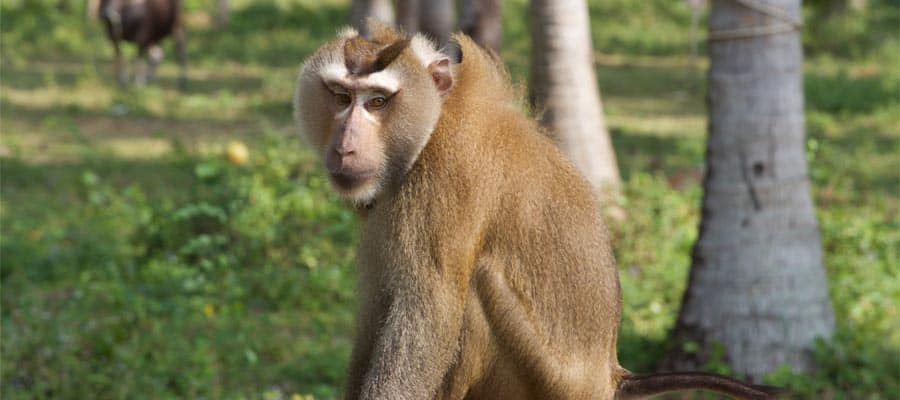 Macaque on your Cruise to Ko Samui