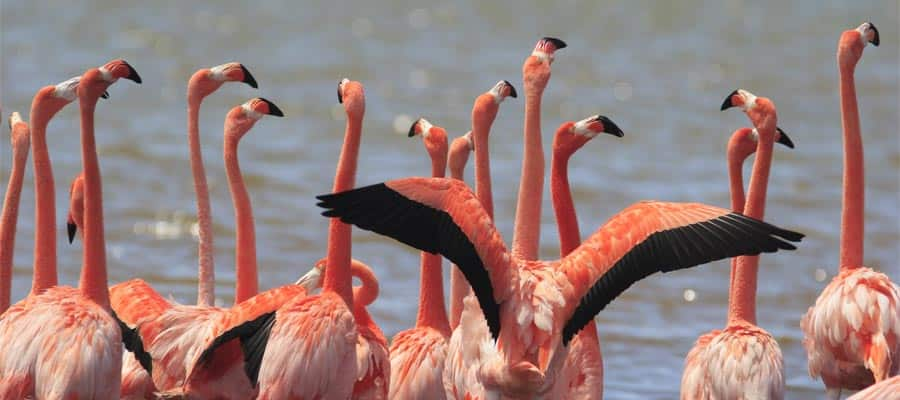 Greater Flamingo sighting when you cruise to Bonaire