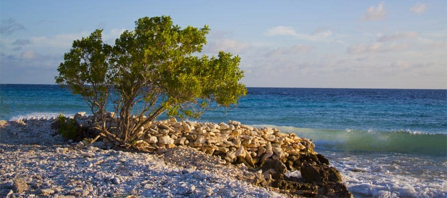 Cruise to Bonaire and see the Oceanside Divi Divi Tree