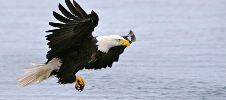 American bald eagle on Alaska cruise