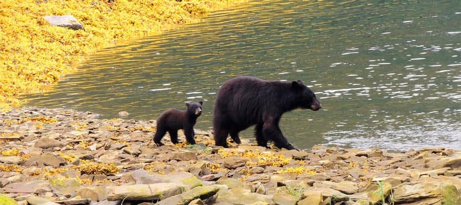 Black bear cub on your Alaska cruise