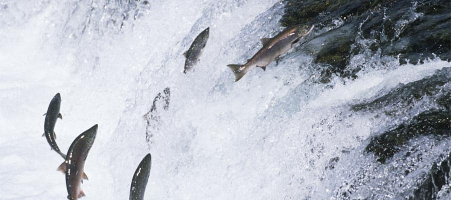 Flussaufwärts springende Lachse auf Ihrer Ketchikan-Kreuzfahrt