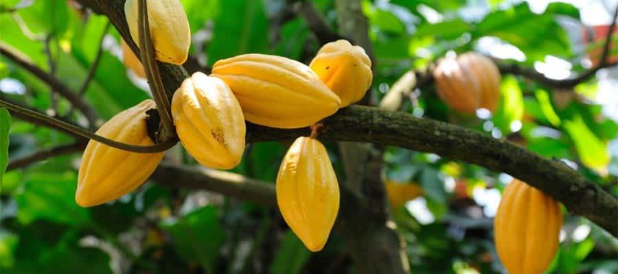 Fèves de cacao durant une croisière sur le Canal de Panama