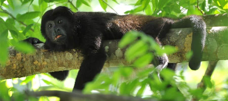 Howler monkey on your Puerto Limon cruise
