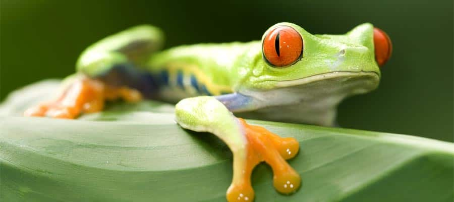 Red eyed green tree frog in Puerto Limon