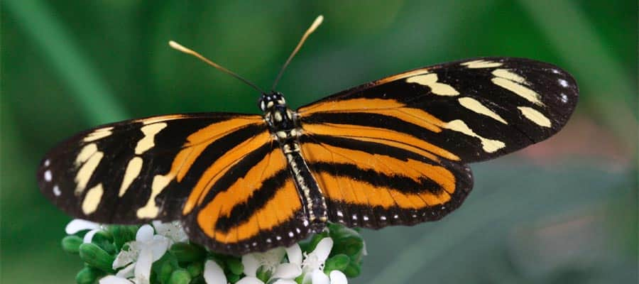 Look out for Butterflies on your Panama Canal cruise