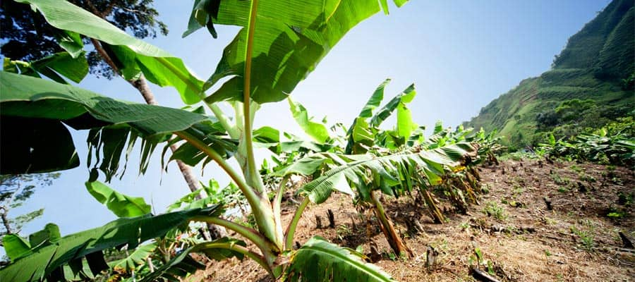 Visit the Banana fields on a Panama Canal cruise