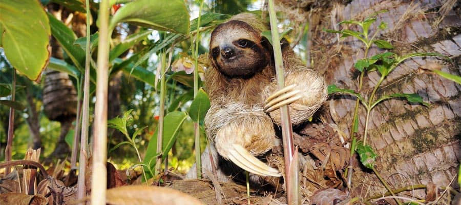Three-toed sloth on a Puerto Limon cruise