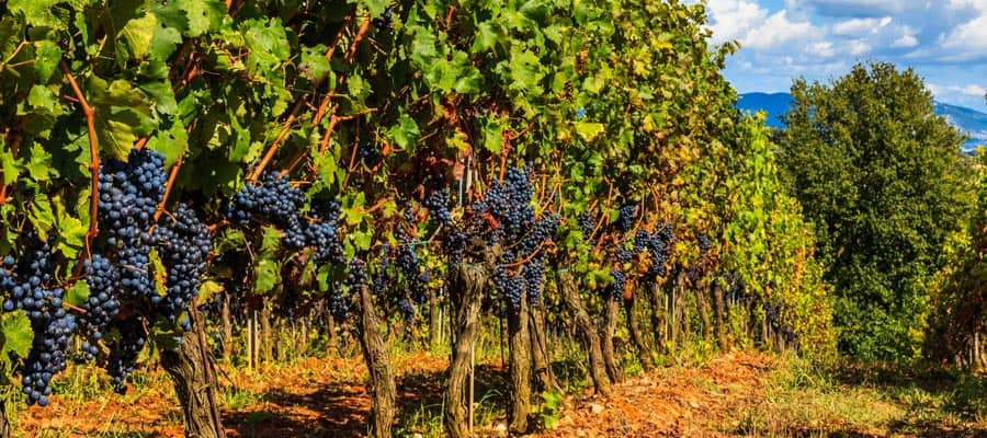Stroll the vineyards of Tuscany when you cruise to Europe