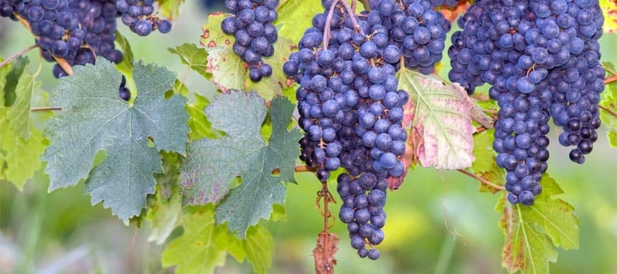 Fresh grapes in Bordeaux on your Europe cruise