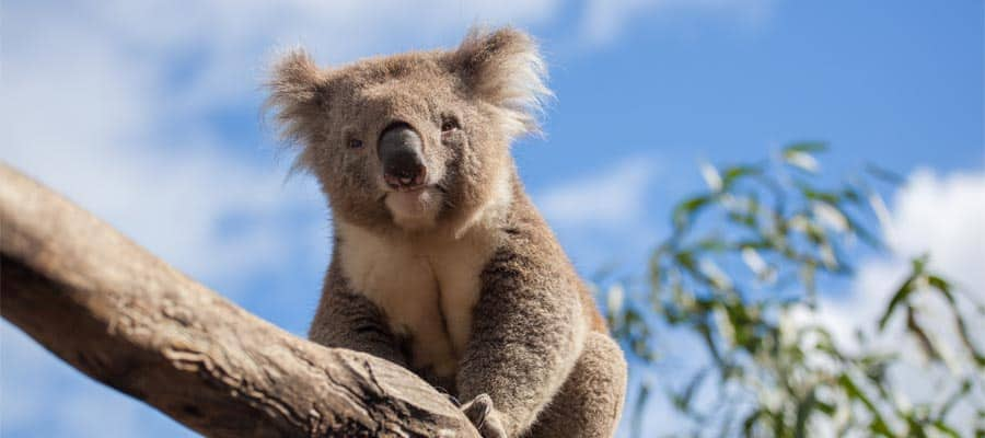 Koala relaxing on a branch on a Cruise to Melbourne